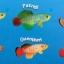 ชุดพร้อมอุปกรณ์ฟักปลาคิลลี่ ไข่ปลา 30 ฟอง (เลือก 1 สายพันธุ์จาก 6 สายพันธุ์) thumbnail 2