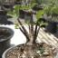 เมล็ดชวนชม ยักษ์ดำ Arabicum black giant/ 10 เมล็ด thumbnail 1