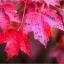 เมเปิ้ลแดง พันธ์ุอเมริกัน Red American Maple / 10 เมล็ด thumbnail 1