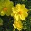 ดาวกระจายสีเหลือง (ต้นสูง) #10 / 100เมล็ด thumbnail 1