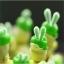 เมล็ดหูกระต่าย monilaria moniliformis / 20 เมล็ด thumbnail 1
