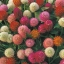 บานไม่รู้โรย สีผสม Globe amaranth mix / 50 เมล็ด