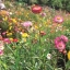 ดอกกระดาษ คละสี Straw flower, Everlasting / 200 เมล็ด thumbnail 4