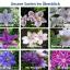 ดอกเคล็มแม็ททิส Clematis / 10 เมล็ด thumbnail 4
