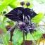 ว่านค้างคาวดำ Black Tiger Shall Orchid Flowers / 5 เมล็ด thumbnail 1
