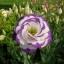 ดอกEustoma คละสี Eustoma Bicolor Mix / 20 เมล็ด thumbnail 1