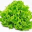 ผักกาดหอม ซีเฟรช หรือผักสลัด / 500 เมล็ด thumbnail 1