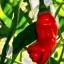เมล็ดพันธุ์ พริกกระจู๋ Peter Pepper / 10 เมล็ด thumbnail 1
