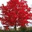 เมเปิ้ลแดง พันธ์ุอเมริกัน Red American Maple / 10 เมล็ด thumbnail 4