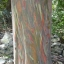 ยูคาลิปตัสสายรุ้ง (Rainbow Eucalyptus) / 20 เมล็ด thumbnail 7