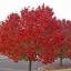 เมเปิ้ลแดง พันธ์ุอเมริกัน Red American Maple / 10 เมล็ด thumbnail 5