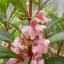 เทียนซ้อน แคนดี้พิ้งค์ สีชมพูอ่อน balsam candy pink / 50 เมล็ด thumbnail 1