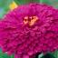 บานชื่นดอกซ้อน#7 สีบานเย็น (ต้นสูง) Zinnia purple / 100เมล็ด thumbnail 2