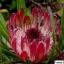 โพรเทีย Protea repens (Sugarbush) / 5 เมล็ด