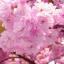 ซากุระญี่ปุ่น เชอรีบอสซัม Sakura / 10 เมล็ด thumbnail 4