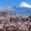 ซากุระญี่ปุ่น เชอรีบอสซัม Sakura / 10 เมล็ด thumbnail 2