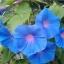 ดอกผักบุ้งฝรั่งมิกซ์ Morning Glory Mix / 40 เมล็ด thumbnail 3