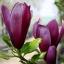 แมกโนเลีย magnolia / 20 เมล็ด thumbnail 3