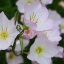 อีฟนิ่งพริมโรส สีชมพู Evening Primrose Showy Pink / 50 เมล็ด thumbnail 3