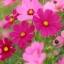 ดาวกระจายสีชมพู #6 / 80 เมล็ด thumbnail 1