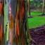 ยูคาลิปตัสสายรุ้ง (Rainbow Eucalyptus) / 20 เมล็ด thumbnail 5