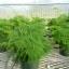 โปร่งฟ้า asparagus setaceus / 2 เมล็ด thumbnail 2