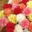 คาร์เนชั่น มิ๊กซ์ Carnation Dianthus Caryophyllus Mix/ 15 เมล็ด