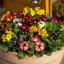 พริมูล่า คละสี Primula Mix / 10 เมล็ด thumbnail 2