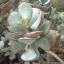 """คลาสซูร่า อาบอเรสเซน ต้นใบเงินสี Crassula arborescens """"silver dollar jade"""" / 20เมล็ด thumbnail 1"""