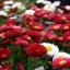 อิงลิช เดซี่ Bellis perennis pomponette / 50 เมล็ด thumbnail 1