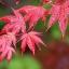 เมล็ดเมเปิ้ลแดง พันธ์ุญี่ปุ่น Red Japanese Maple Tree / 10 เมล็ด thumbnail 1