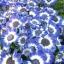 ดอกซินเนอราเรีย cineraria หรือ Pericallis hybrida / 20 เมล็ด thumbnail 1
