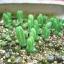 เมล็ดหูกระต่าย monilaria moniliformis / 20 เมล็ด thumbnail 3