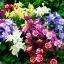 ดอกโคลัมไบน์ มิ๊กซ์ Columbine Flower Mix / 25 เมล็ด thumbnail 2
