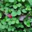 สตรอเบอรี่ป่า Mock Strawberry / 30เมล็ด thumbnail 6