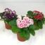 เมล็ดดอกกล็อกซีเนีย ดับเบิ้ล โบรเคด สีผสม (ดอกกุหลาบนางฟ้า) Gloxinia Double Brocade Mix / 30 เมล็ด thumbnail 5