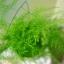 โปร่งฟ้า asparagus setaceus / 2 เมล็ด thumbnail 3
