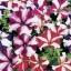 พิทูเนีย แกรนดิฟลอร่า จัมโบ้ สตาร์ มิกซ์ Petunia Grandiflora jumbo star / 100 เมล็ด thumbnail 1