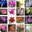กระบองเพชรก้ามปู หรือมังกรคาบแก้ว Schlumbergera seed Mix / 100เมล็ด thumbnail 3