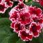 เมล็ดดอกกล็อกซีเนีย ดับเบิ้ล โบรเคด สีผสม (ดอกกุหลาบนางฟ้า) Gloxinia Double Brocade Mix / 30 เมล็ด thumbnail 2