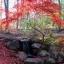 เมล็ดเมเปิ้ลแดง พันธ์ุญี่ปุ่น Red Japanese Maple Tree / 10 เมล็ด thumbnail 4