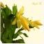 กระบองเพชรก้ามปู หรือมังกรคาบแก้ว Schlumbergera seed Mix / 100เมล็ด thumbnail 9
