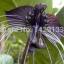 ว่านค้างคาวดำ Black Tiger Shall Orchid Flowers / 5 เมล็ด thumbnail 4