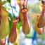 หม้อข้าวหม้อแกงลิง วาไรตี้ มิ๊ก Nepenthe eating mosquito varieties Mix / 10 เมล็ด thumbnail 1