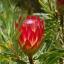 โพรเทีย Protea repens (Sugarbush) / 5 เมล็ด thumbnail 1