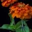 บานชื่นดอกซ้อน#4 สีส้ม (ต้นสูง) Orange Zinnia / 100เมล็ด thumbnail 2