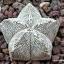 แอสโตรไฟตัม มาริออททิกมา (ซีวี ออนซูกะ) Astrophytum myriostigma cv onzuka/ 10 เมล็ด thumbnail 1