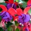 ตุ้มหูนางฟ้า ต่างหูนางฟ้า โคมญี่ปุ่น สีผสม Fuchsia Mix / 20 เมล็ด thumbnail 7