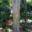 ยูคาลิปตัสสายรุ้ง (Rainbow Eucalyptus) / 20 เมล็ด thumbnail 9
