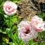 ดอกEustoma คละสี Eustoma Bicolor Mix / 20 เมล็ด thumbnail 6